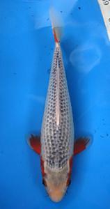 0489-Kyudenkoi-kyudenkoi-Asagi-33 Cm -female-jakarta