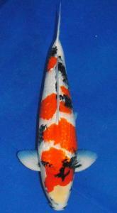 0081-ZNA BOTABEK-Twinkoi-Bekasi-Kinginrin A-55 cm