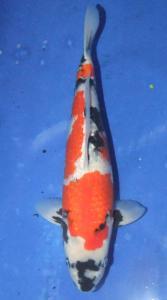 0837-h.ali suseno-jakarta koi center-surabaya-ginrin A-42cm F