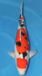 0040-Agustiono Kusumadi-Twinkoi-Kudus-Sanke-55 cm