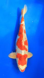 0711-Henry Koesuma-Tangerang-Nirwanakoi centre  Jkt-hikarimoyomono-47cm