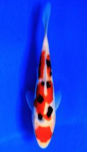 0717-Bernhard Tangerang-Nirwanakoi Jkt-doitsu sanke-15cm