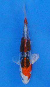 0078-ZNA BOTABEK-Twinkoi-Bekasi-Hikarimoyomono-15 cm