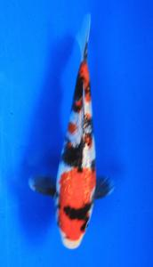 0628-Nirwanakoi Jkt-ginrin A-18cm