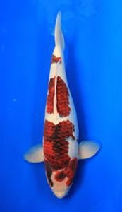 0705-Henry Koesuma Tangerang-Nirwanakoi Jkt-goromo-48cm