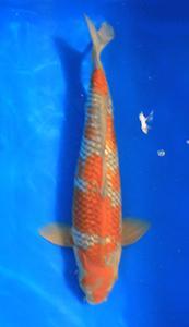 0708-Henry Koesuma-Tangerang-Nirwanakoi centre  Jkt-ginrin B-45cm
