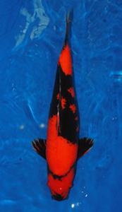 0664-Nirwanakoi Jkt-hiutshuri-57cm