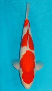 0052-Chien-Chien-Twinkoi-Tasikmalaya-Kohaku-45 cm