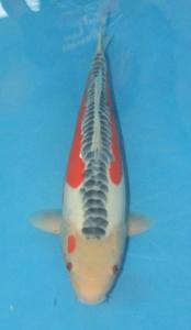 0844-jimmy-jakarta koi center-surabaya-shusui-45cm