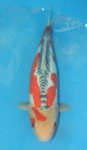 0869-wibowo-santoso-jakarta koi center-jakarta-shusui-45cm