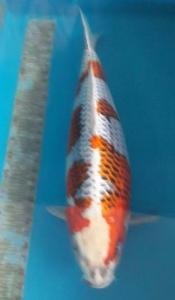 0028-CHENG KWOK KWAI-SKC-SURABAYA-KUJAKU-70cm-female