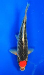 0698-Nirwanakoi Jkt-tanco goshiki-33cm