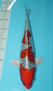 0782-TT Koi-handling jayakoi-Malang-Hikari moyomono-45cm-male