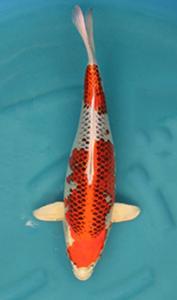 1418- Nirwanakoi Jkt-hikarimoyomono-53cm