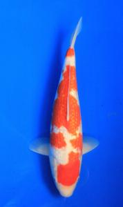 0630-Nirwanakoi Jkt-ginrin A-33 cm