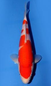 0070-Wibowo Santoso-Twinkoi-Jakarta-Kohaku-45 cm