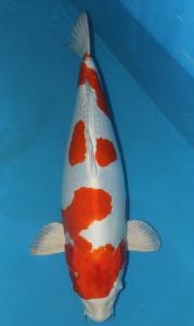 0783-TT Koi-handling jayakoi-Malang-Hikari moyomono-65cm-female