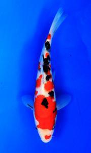 0722-Bernhard Tangerang-Nirwanakoi Jkt-sanke-19cm
