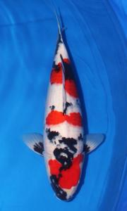 1181-Simon Budiman- Golden koi Centre-Showa 60cm
