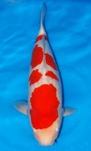 0086-ZNA BOTABEK-Twinkoi-Bekasi-Kohaku-64 cm