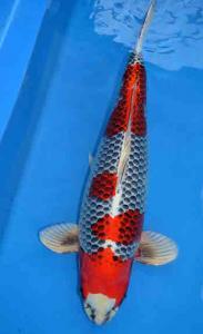 0706-Henry Koesuma Tangerang-Nirwanakoi Jkt-hikarimoyomono-60cm