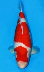 0087-ZNA BOTABEK-Twinkoi-Bekasi-Kohaku-67 cm