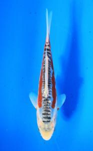 0734-Bernhard Tangerang-Nirwanakoi Jkt-shusui-19cm