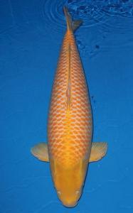 0366-ZNA Botabek - Bekasi - Kawarimono - 110 cm - Import - Female - handling by Republik Gading Koi