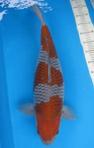 0923-koilover banyuwangi-koipalace-banyuwangi-62cm-female