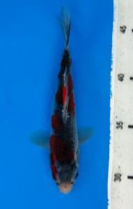 1218-Hapsaro Koi-Plat AG Koi-Tangerang-Goshiki-18 Cm-Female