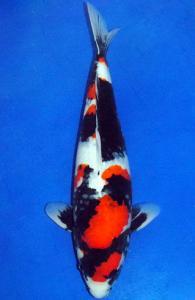0061-Hernando Yuwono-Twinkoi-Surabaya-Showa-60 cm