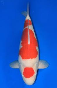 0996-ZNA Botabek - Koi Diwa - Bekasi - Kohaku - 54 cm- Female