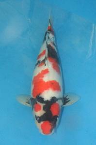 0564-Kyudenkoi-kyudenkoi-SHowa-54  cm-female-jakarta