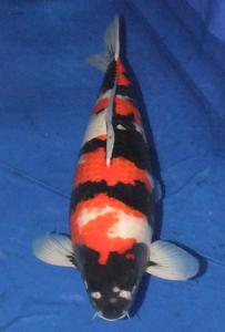 0872-yohanes edy-jakarta koi center-surabaya-showa-68cm F