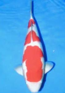 0153-dr Priche-Joe Koi-Cibubur-Kohaku-60cm-Female